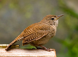 The House Wren Is One Bird Many Of Us Have Simply Fallen In Love With. This  Busy, Never Resting Small Bird Draws Our Attention With Its Cheerful  Bubbling ...