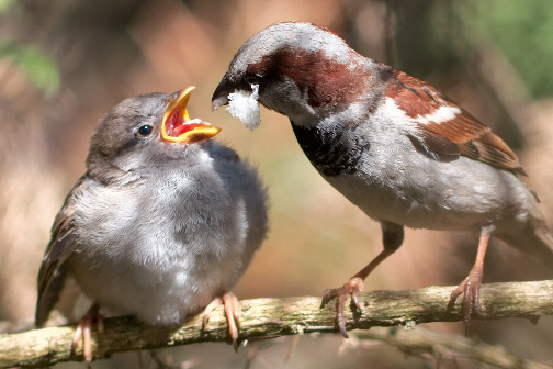 Raising Of Sparrow Pictures : If you have found a baby sparrow, then please visit the what do baby ...
